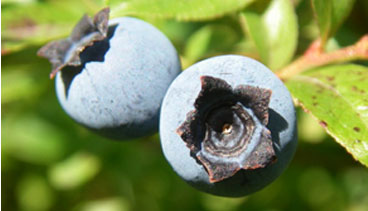 Whittier Farm Blueberries